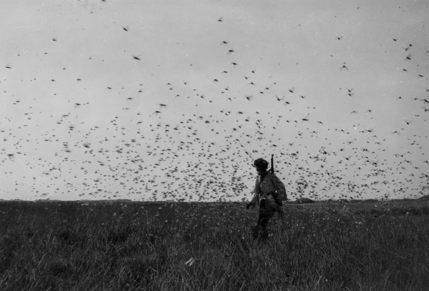 A locust cloud over Juncus maritimus at Imililik, Western Sahara (April, 1944).